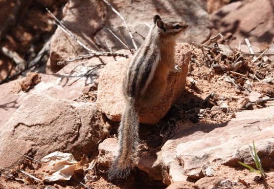 Parc National de Zion - Route entre Mt Carmel Junction et le tunnel - Chipmunk