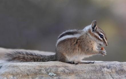 """Parc national de Zion - Angels Landing Trail - Chipmunk """"d'accueil"""" au sommet !"""