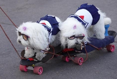 Las Vegas - Même au Japon, on n'avait jamais vu des chiens en skateboard !