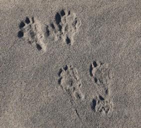 Death Valley National Park - Mesquite Sand Dunes - Traces de rat-kangourou