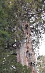 Sequoia National Park - Giant Forest - Sommet d'un sequoia