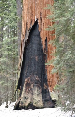 "Sequoia National Park - Giant Forest - ""Blessure"" liée aux incendies"