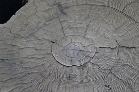 Sequoia National Park - Giant Forest - Coupe d'un tronc de sequoia