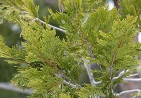 Sequoia National Park - Giant Forest - Feuilles de sequoia