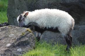 Reykjavík - Húsdýragarðurinn Park & Zoo - Mouton