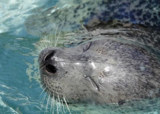 Reykjavík - Húsdýragarðurinn Park & Zoo - Phoque gris