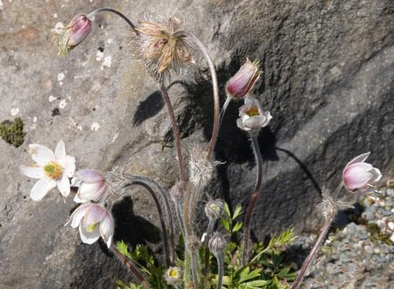Reykjavík - Jardin botanique -Pulsatille