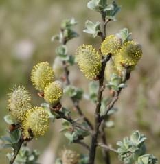 Cercle d'Or - Jolies petites fleurs avec beaucoup de pollen !