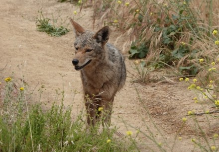 Los Angeles - Hollywood - Griffith Park - Beau coyote