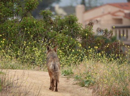 Los Angeles - Hollywood - Griffith Park - Tranquillement, notre coyote poursuit sa route !