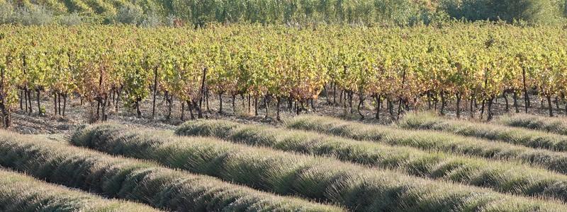 Balades à vélo dans l'enclave des Papes et le pays de Grignan, terres de lavande, de vignes, d'oliviers et de chênes truffiers!