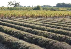 Aux environs de Grillon - Champs de lavande en fin de floraison et vigne