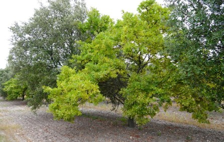 Entre Richerenches et Visan - Chênes truffiers blancs et verts