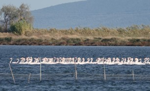 Lesina - Flamants roses
