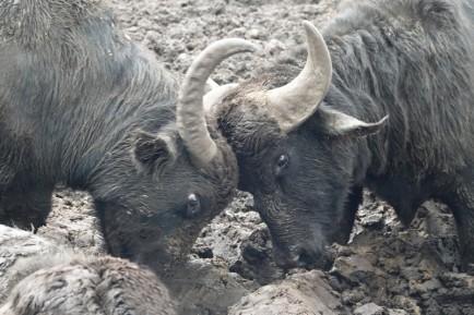 Vers Manfredonia - Elevage de bufflonnes