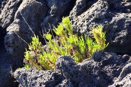Balade à vélo - Giardini Naxos - Petite salicorne qui pousse sur les rochers de lave en bord de mer.