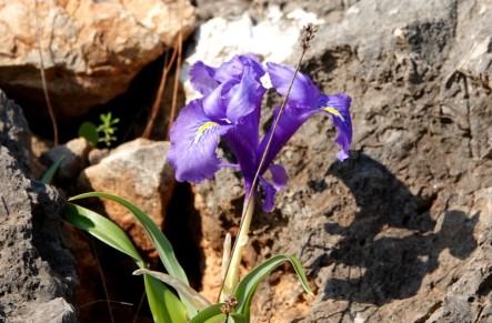 Réserve naturelle du Zingaro - Iris