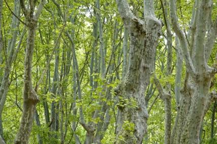 Avignon - Balade dans le camping - Beaux arbres mais... que de pollen !