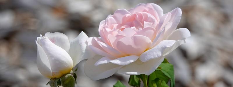 Mignonne, allons voir si la rose… Très jolie balade dans le pays de Ronsard, entre Montoire, Trôo et Lavardin!