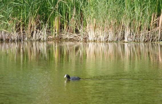 Aubigny-sur-Nère - Étang proche du camping - Poule d'eau